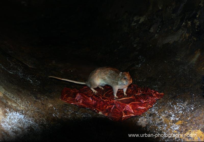 Ratte in der Ausstellung 'Abwasser'