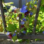 Blaue Schönheiten am Wegesrand