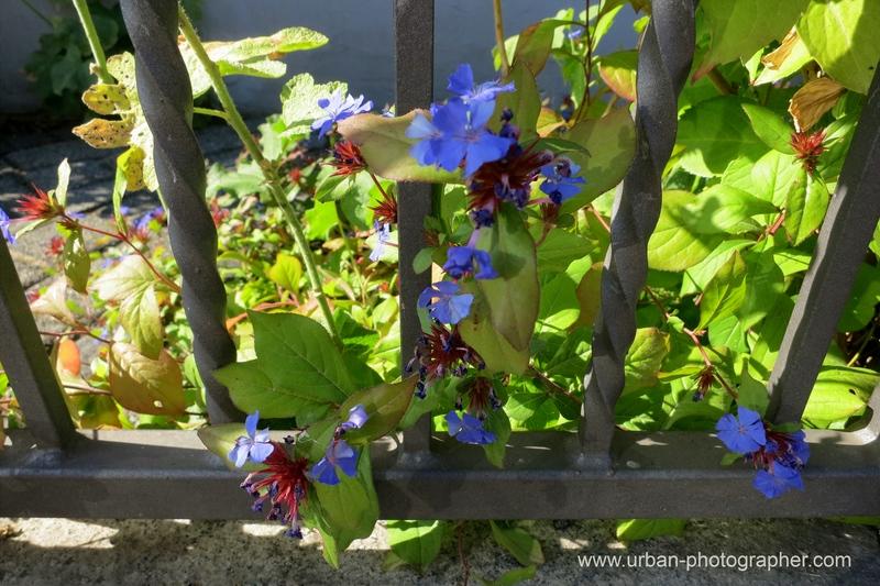 Blaue Schönheit am Wegesrand 1